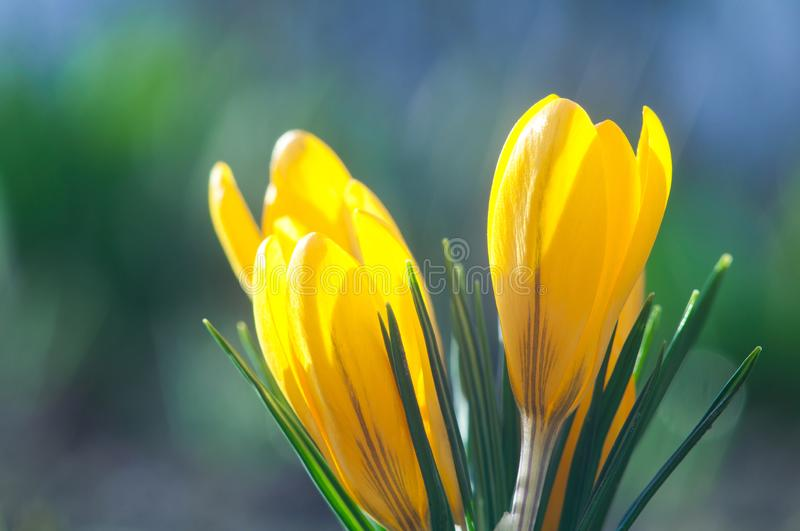 Yellow crocuses on a blue background close up royalty free stock images