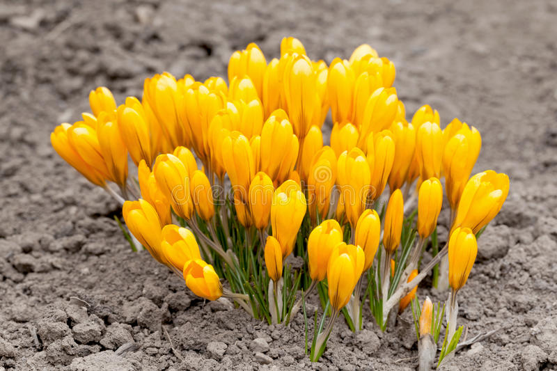 Yellow Crocuses Stock Image