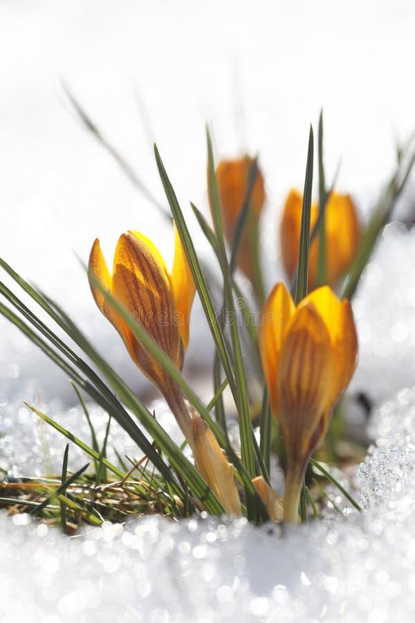 Download Yellow Crocuses, Spring Awakening Stock Photo - Image: 83705979