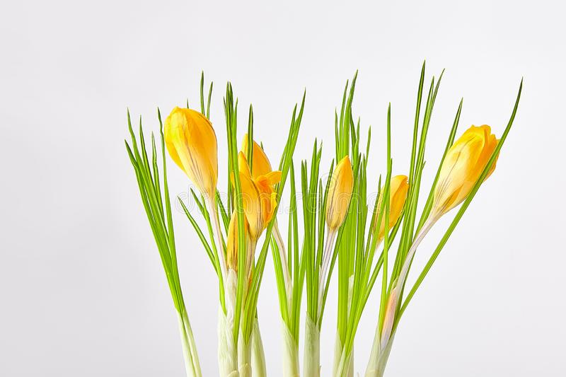 Yellow crocuses on a white background royalty free stock photo