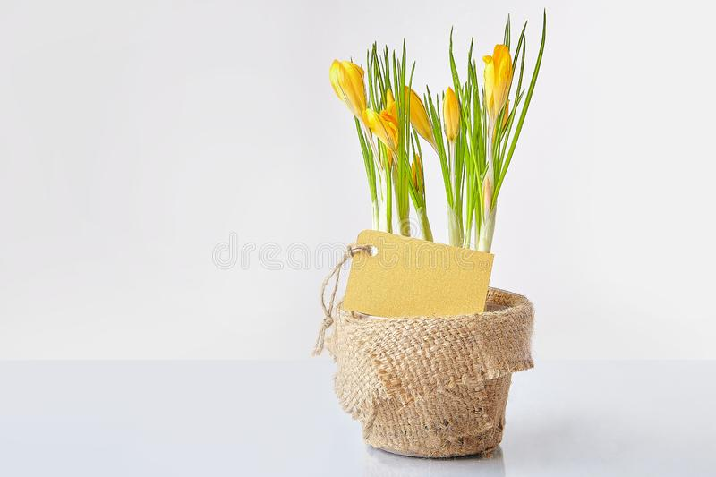 Yellow crocuses on a white background stock photo