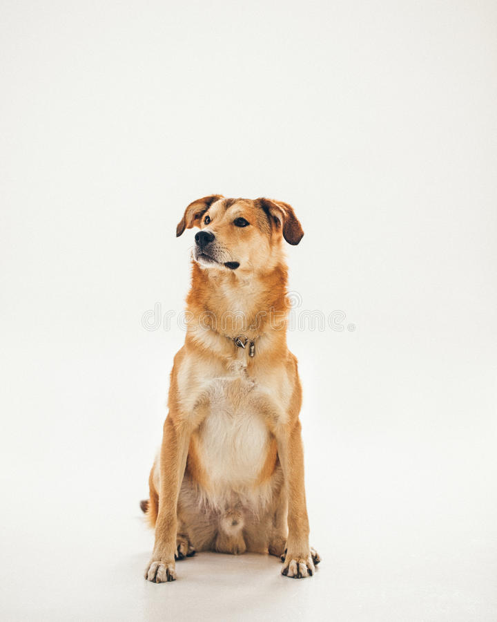 Yellow Crossbred Dog royalty free stock images