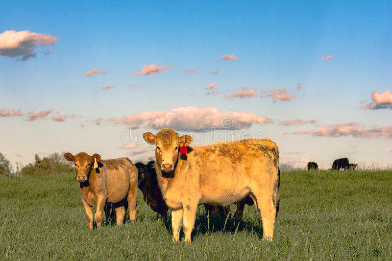Yellow crossbred heifers in pature. Yellow crossbred beef heifers in a green pasture shot during golden hour royalty free stock photos