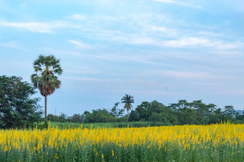 Yellow Crotalaria juncea L. flower background of palm trees and. The sunset light , Thailand royalty free stock images