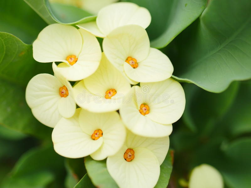 Yellow Crown of thorns flowers stock photo
