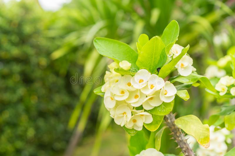 Yellow Crown of thorns flowers on tree stock images