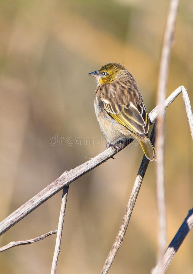 Download Yellow-crowned Bishop Resting On A Twig Stock Image - Image: 22431587
