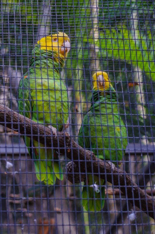 Yellow Crowned Green Amazon Parrot in Puerto de la Cruz, Santa C royalty free stock image