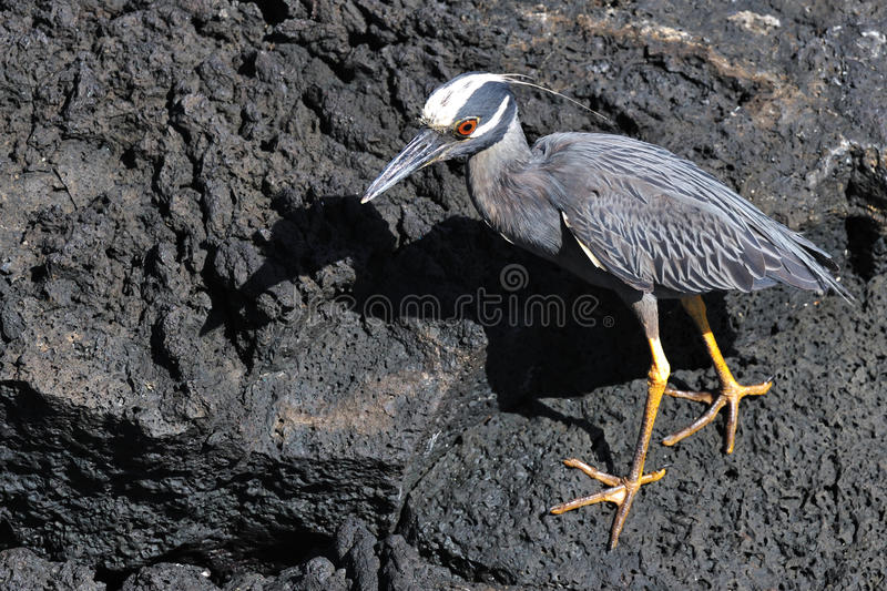 Download Yellow-Crowned Night-Heron stock photo. Image of american - 18203374