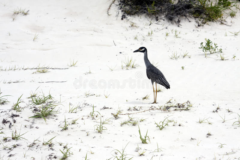 Yellow Crowned Night Heron II. Profile view of a yellow crowned night heron standing on a sandy beach stock image