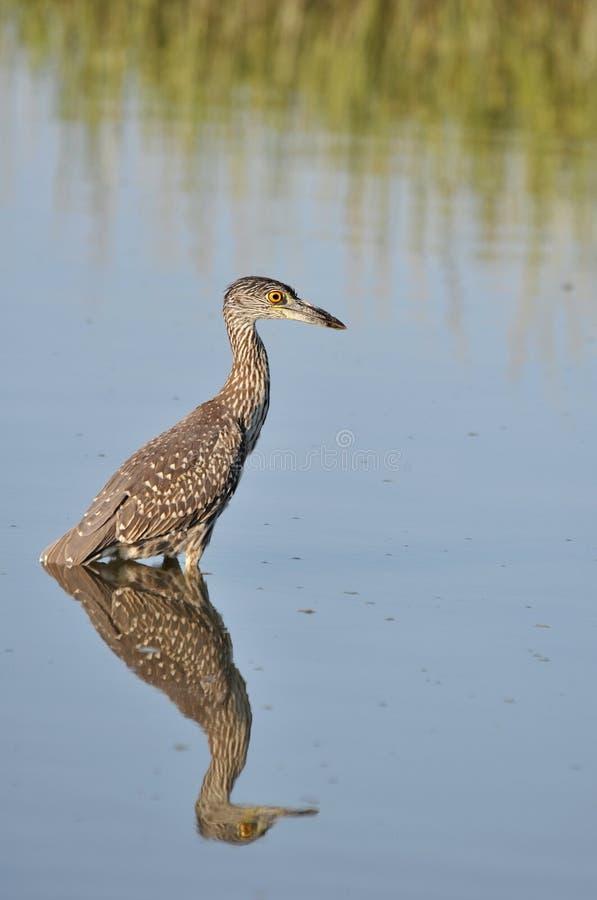 Yellow-crowned night heron juvenile hunting in the waters of Huntington Beach, South Carolina royalty free stock photos