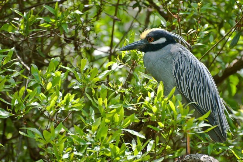 Yellow-crowned Night Heron stock photo