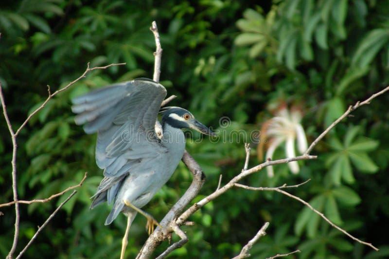 Yellow-crowned Night-Heron royalty free stock photos