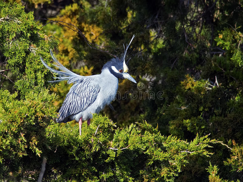 Yellow-crowned Night Heron in Tree. Yellow-crowned Night Heron sitting in a tree stock photo