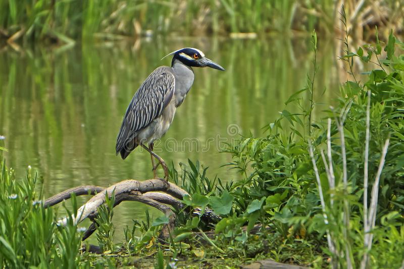 Yellow crowned night heron. In the swamp royalty free stock photography