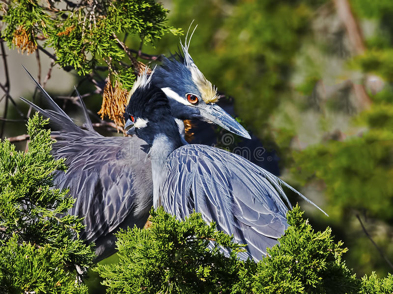 Yellow-crowned Night Herons in Tree. Show Affection royalty free stock photos