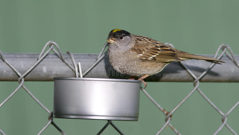 Yellow Crowned Sparrow In Home Made Backyard Wild Bird ...