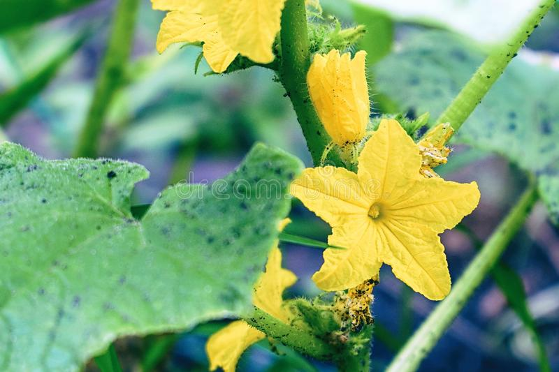 Yellow cucumber flower on a Bush in garden royalty free stock photos