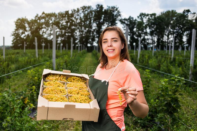 Yellow currant growers engineer working in garden with harvest, woman with box of berries. Yellow currant growers engineer working in garden with harvest , woman stock image