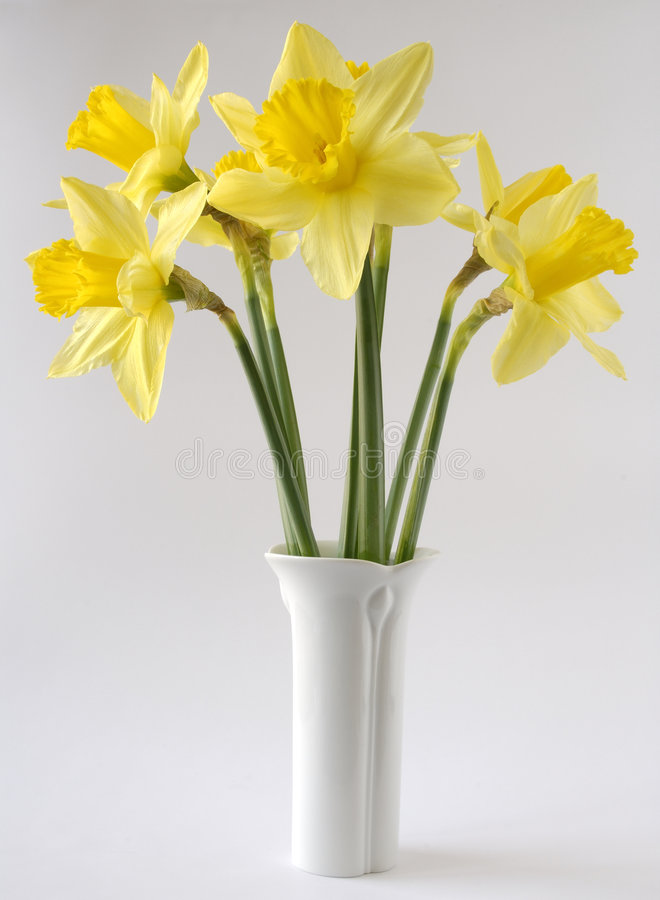 Yellow daffodil. S in a white vase royalty free stock images