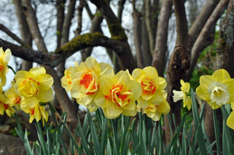 Yellow daffodil beauties stock photo
