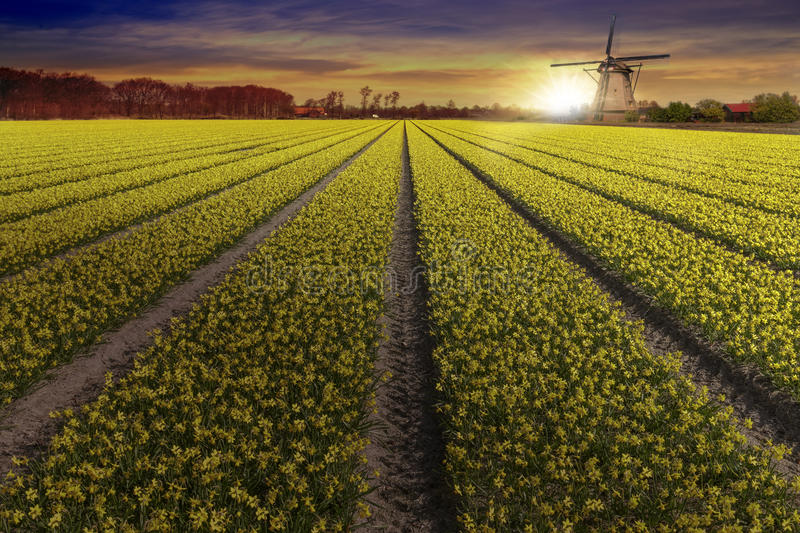 Yellow daffodil bulb farm at Lisse and Hilligome Dutch city stock image