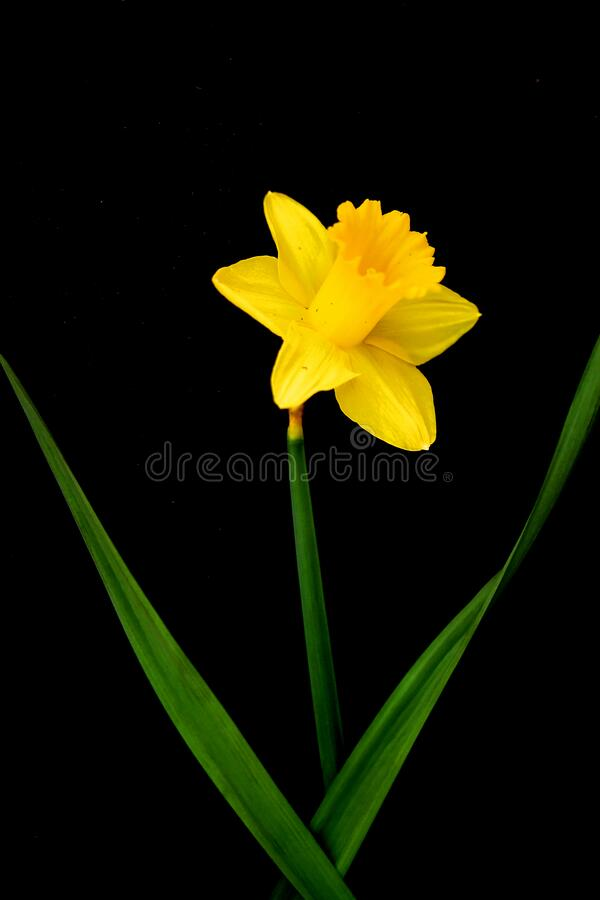The yellow daffodil flower on black background royalty free stock image