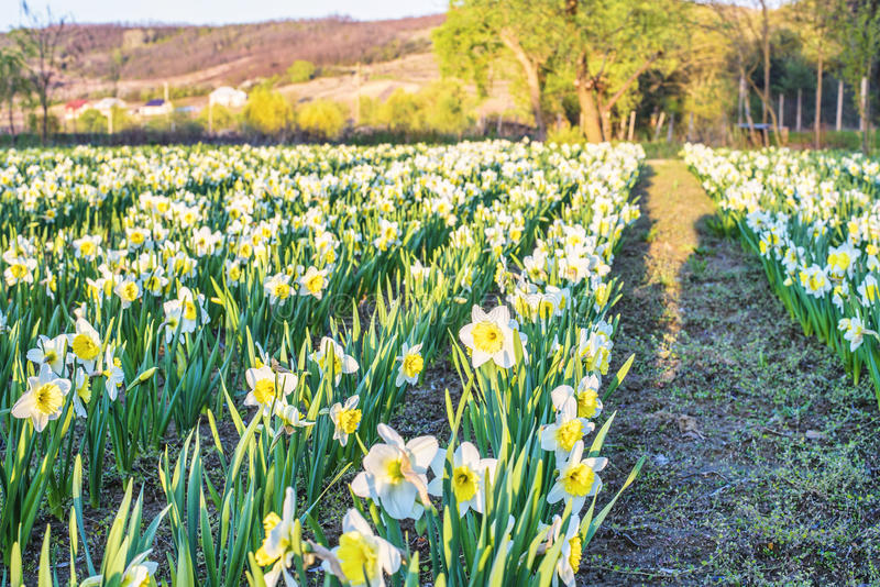Yellow daffodil flower. Field at sunset in Bardar village, Moldova royalty free stock photos