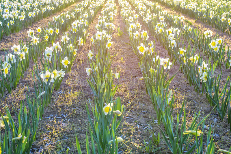 Yellow daffodil flower. Field at sunset in Bardar village, Moldova royalty free stock images