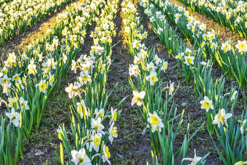 Yellow daffodil flower. Field at sunset in Bardar village, Moldova royalty free stock photography