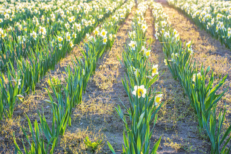 Yellow daffodil flower. Field at sunset in Bardar village, Moldova stock photography