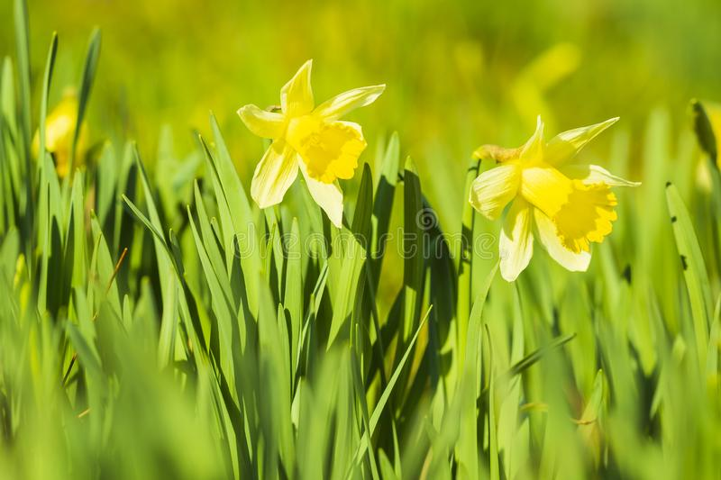 Yellow Daffodil flower or Lent lily, Narcissus pseudonarcissus, blooming in a green meadow royalty free stock images