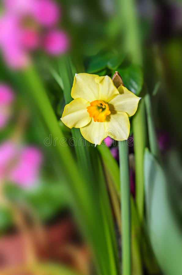 Yellow daffodil flower plant, Narcissus from Amaryllidaceae. Amaryllis family, close up royalty free stock photos