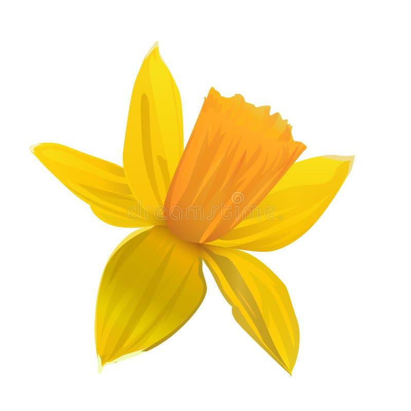 Yellow daffodil. Flower. Vector illustration. royalty free illustration