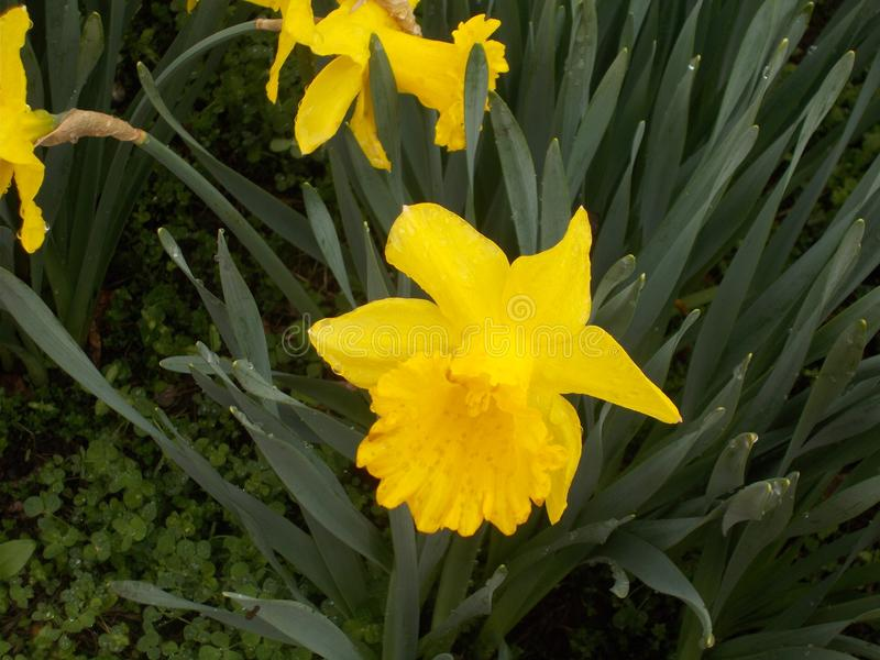 A Yellow daffodil in the morning royalty free stock photography
