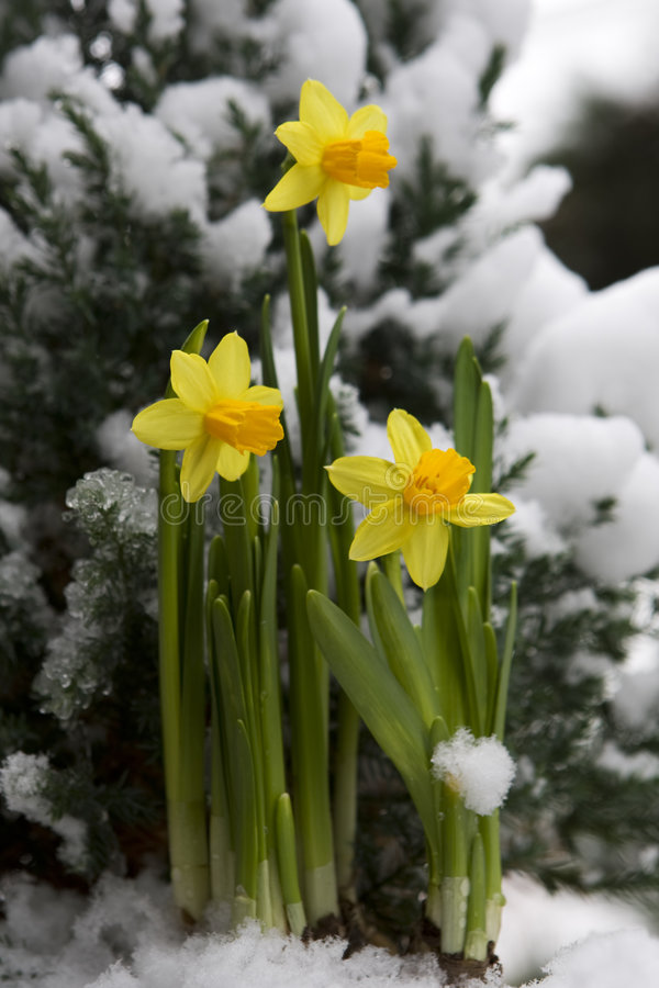 Yellow daffodil in the snow royalty free stock photography