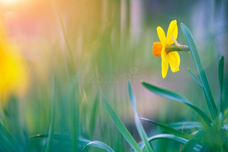 Yellow Large Cupped Daffodil in springtime. Large Cupped Daffodil, Narcissus incomparabilis Fortune, in springtime. Shallow depth of field stock photography