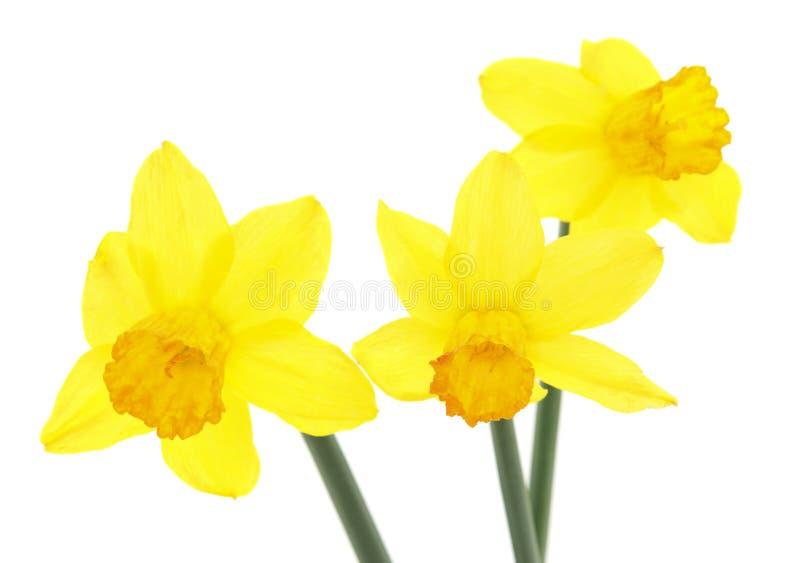 Yellow daffodils. Yellow daffodils оn а white background stock photography