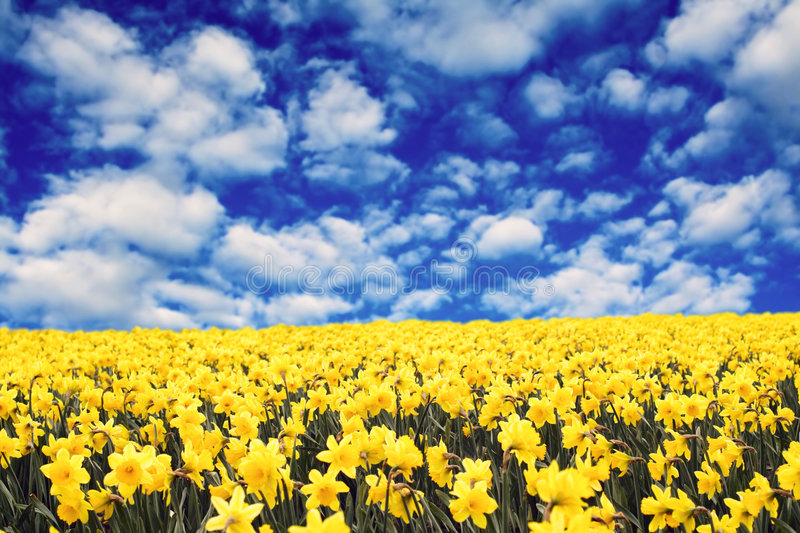 Yellow daffodils. A field of yellow daffodils under the clouds stock images