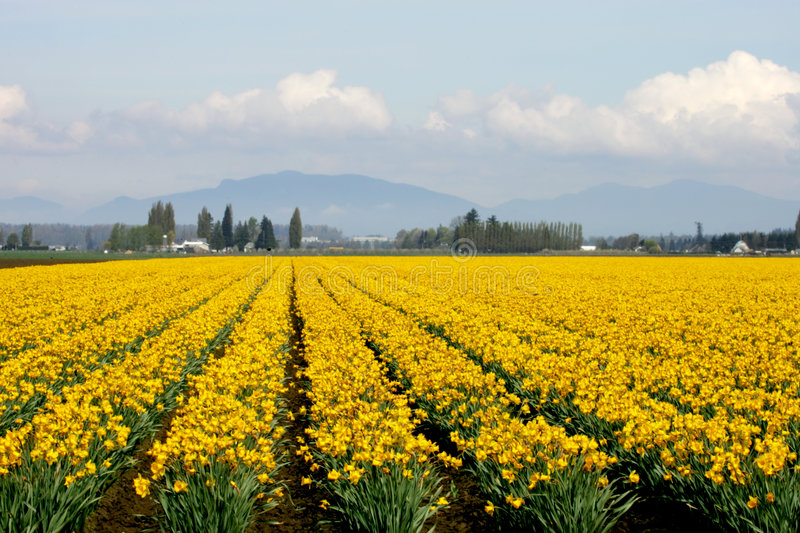 Yellow daffodils. Yellow daffodil field in Skagit Valley royalty free stock photography