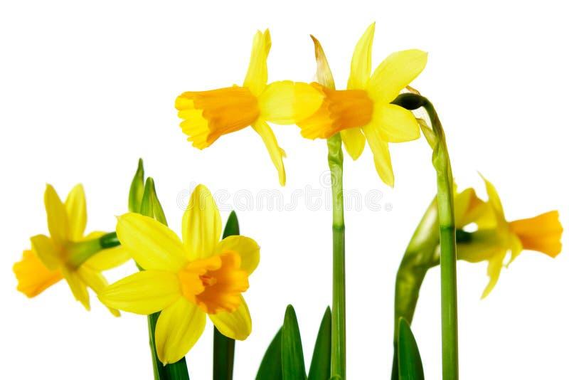 Download Yellow daffodils stock photo. Image of bundle, seedling - 23401850