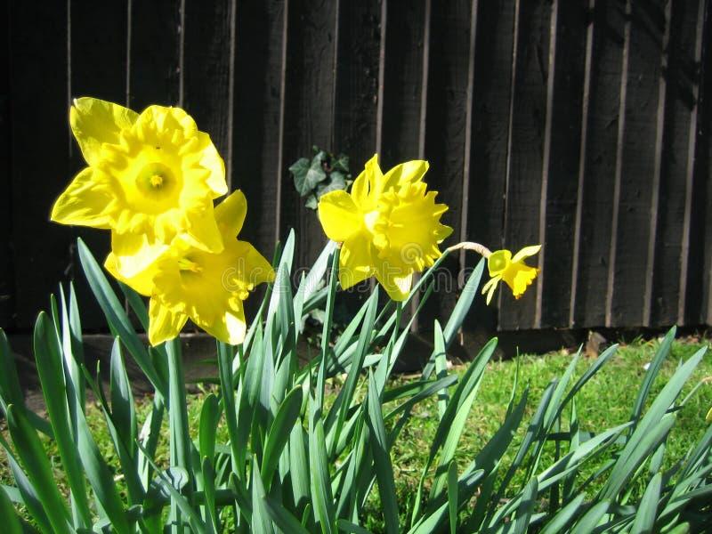 Yellow daffodils royalty free stock image