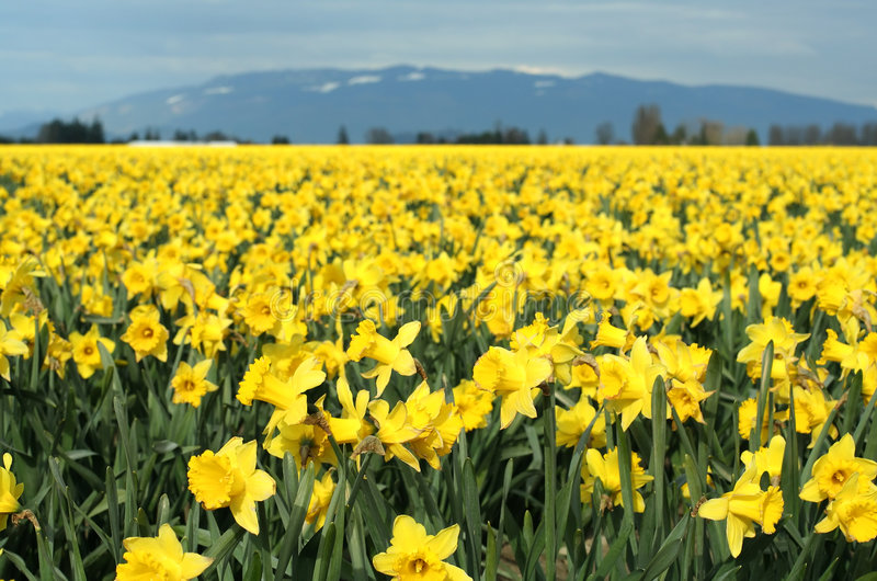 Yellow daffodils stock image