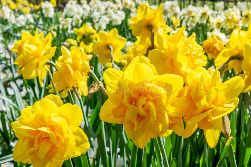 Yellow daffodils blooming in a city park on a sunny spring day stock photos