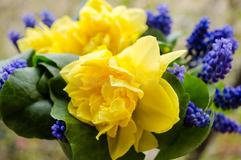 Yellow Daffodils. Blue Muscari. Bouquet. Fragrant spring. Sweet aroma of bright colors. Bouquet for your favorite girl. Flowers royalty free stock image