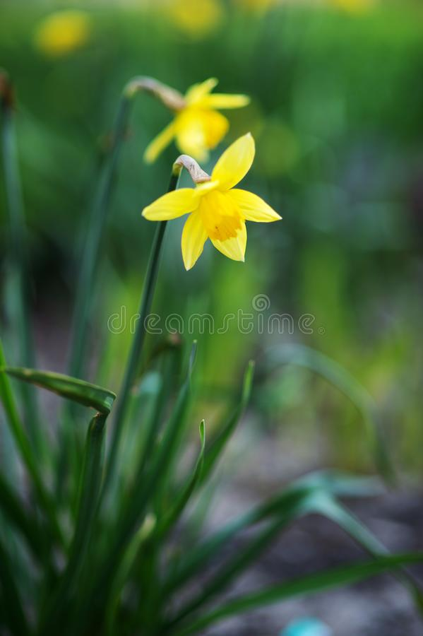 Yellow daffodils on a blurred background stock photo