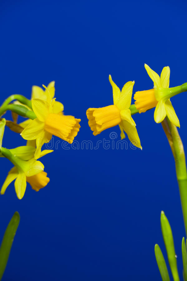 Narcissuses stock photo