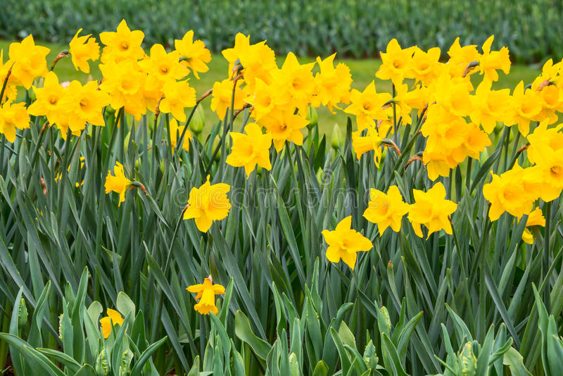 Yellow Daffodils Flowers. Close up of row of yellow daffodils in a garden stock photo