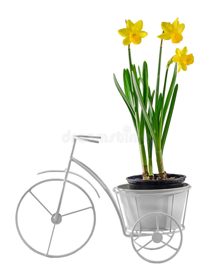 Yellow daffodils flowers in a flower pot on white vintage bicycle, close up, isolated, white background.  royalty free stock image