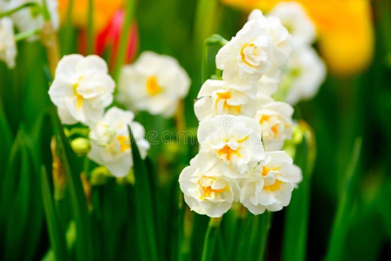 Yellow daffodils flowers macro stock images
